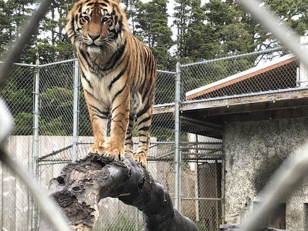 tiger at at West Coast Game Park Safari, an Oregon roadside zoo