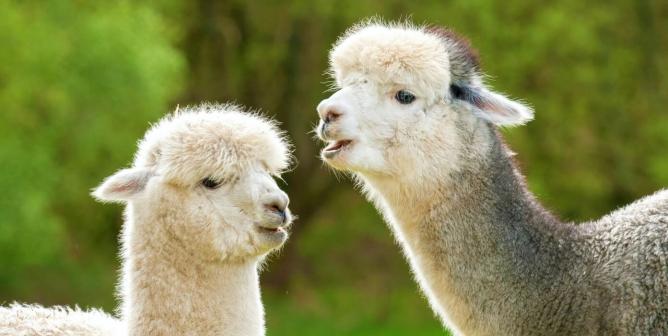 Urge Aritzia to Ban Alpaca!