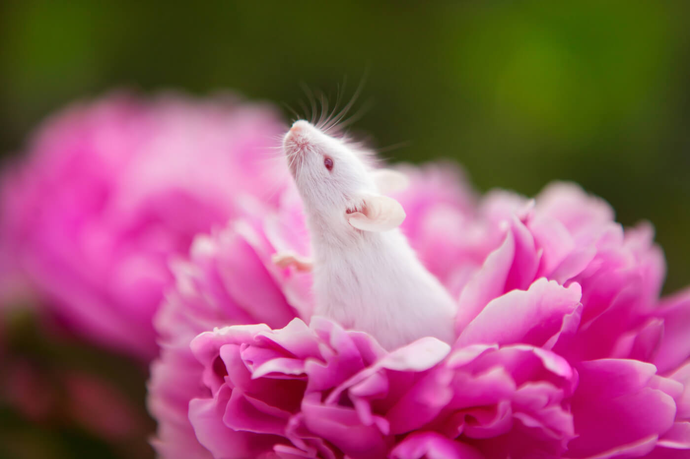 White rat emerges from pink peony