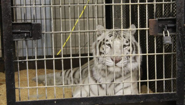 Tigers Kept in Maggot-Infested, Rancid Barn—Take Action Now!