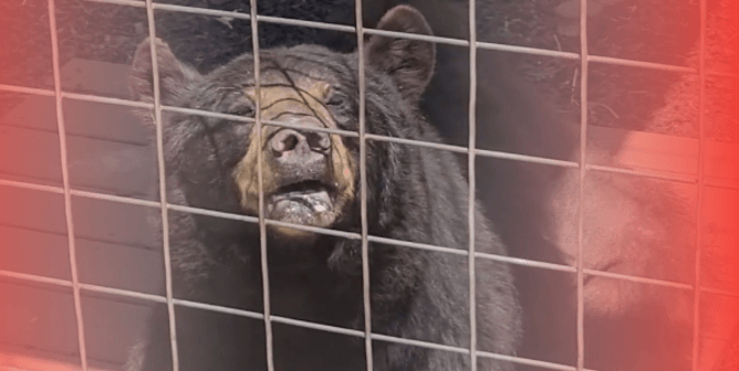 Feds Come for Tourist Trap After PETA Sounds the Alarm on Black Bear's Suffering