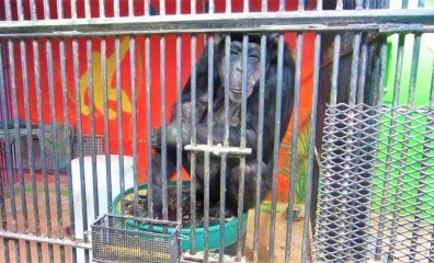 BREAKING: PETA Rescues All Remaining Chimpanzees From Former Breeding Hellhole