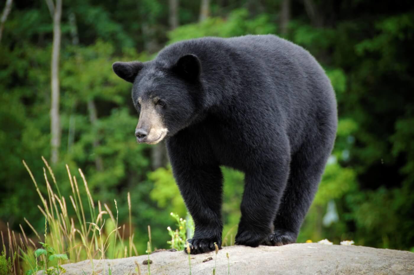 Bear on a rock