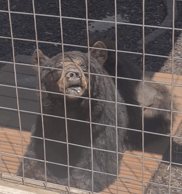 bear at Pocono Snake & Animal Farm