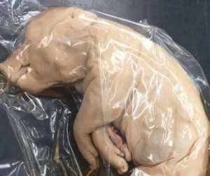 A fetal pig used for dissection