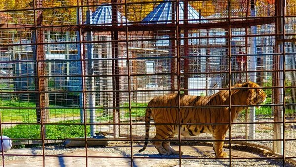 Animal Haven Zoo Is Hell for Tigers—Take Action Now!