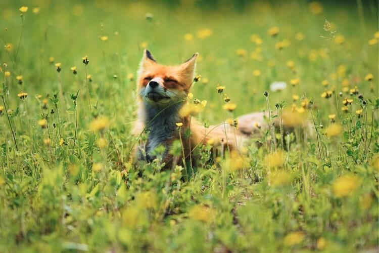 Fox in wildflowers