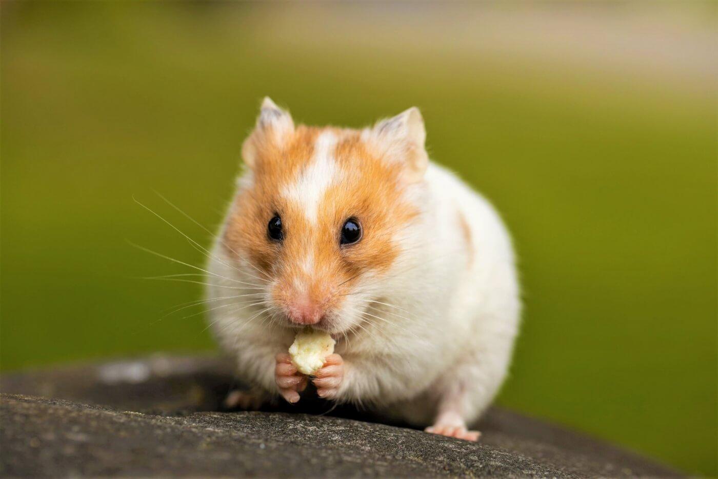 Lian Hwa Taiwan hamster victory image