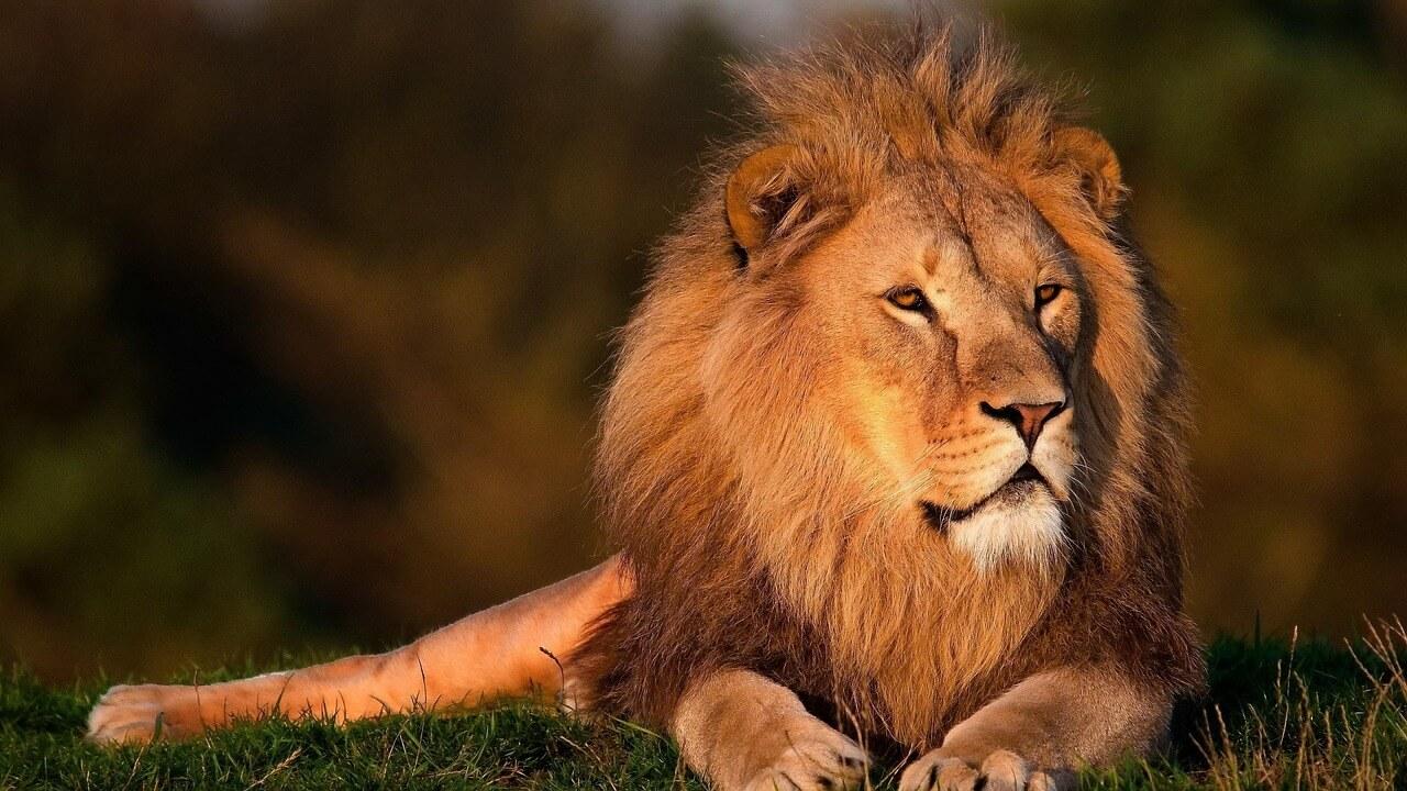 Lions Season Lion Day Blog