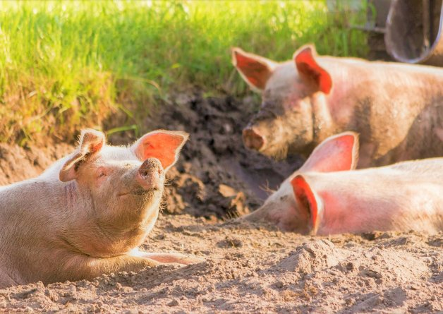 Hospital Swaps Live Pigs for Tech in OB/GYN Training After PETA Talks