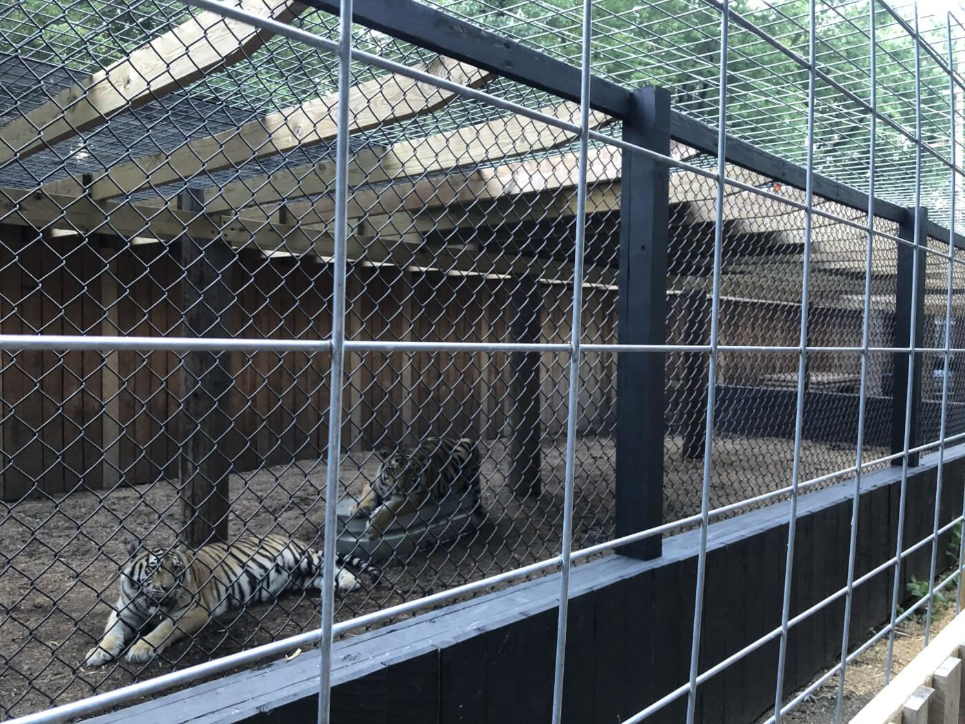 tigers Lily and Tony in enclosure at walnut prairie wildside