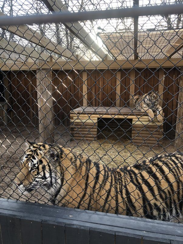 tigers at roadside zoo wpw