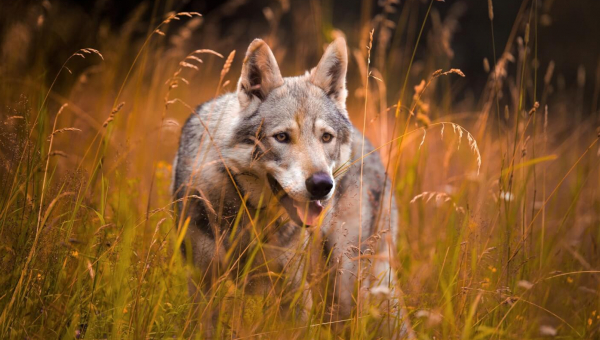Montana's Wolves Face Snares, Night Hunts, and Bait Stations!