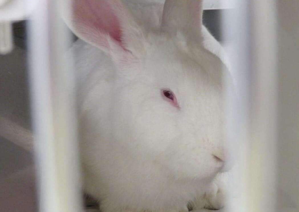 rabbit used in experiments at vanderbilt university