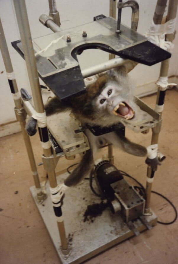 animal torture devices monkey restraint chair