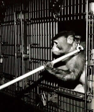animal torture devices monkey restraint collar