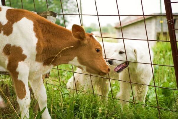 end of speciesism dog and cow look at each other