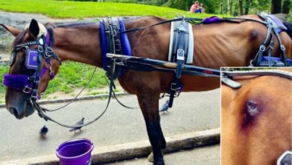 Horses Are Suffering in NYC: Help End the Carriage Trade Now