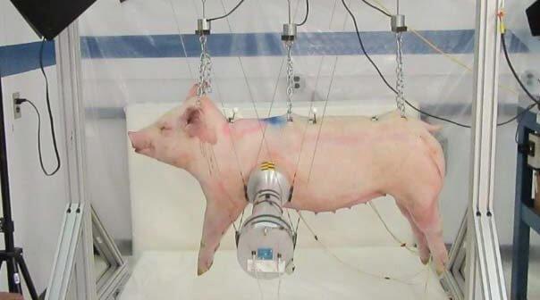 Ford Reverses Gears, Funds Crash Test on Pigs Despite Assurances—Take Action