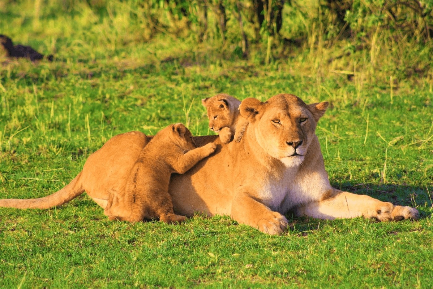 Mother and baby lion cubs