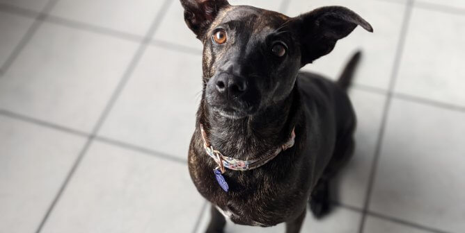 Brindle Beauty Ready to Find 'the One'—Must Love Giving Chin Scratches