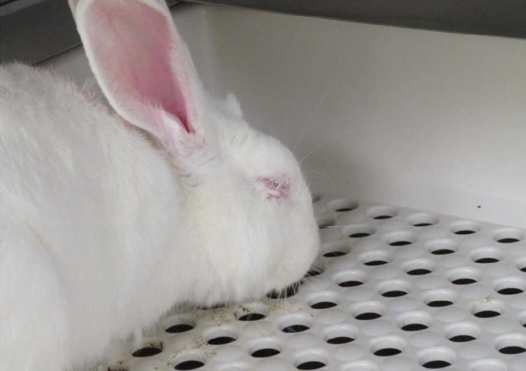rabbit in vandy lab suffering from use in tests