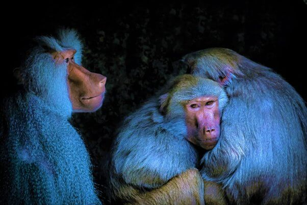 Three Baboons in blue lighting