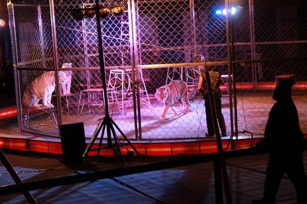 Two tigers in cage forced to perform