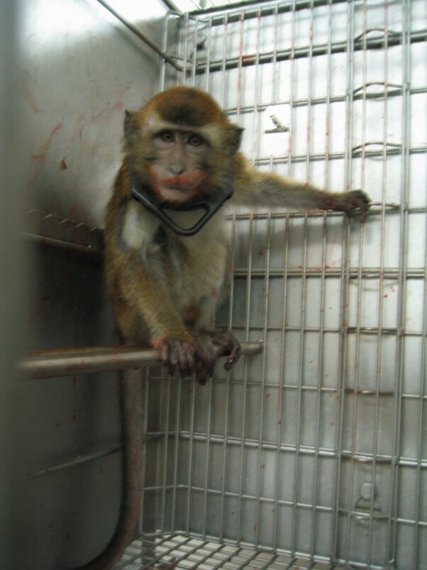 animal torture devices used on monkeys in labs covance