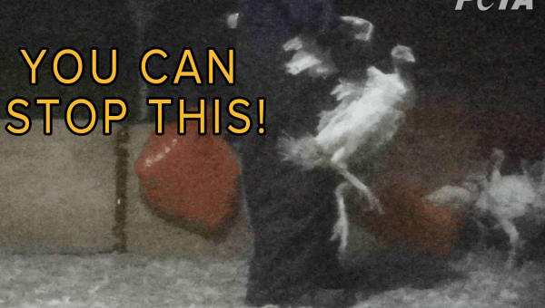 Turkeys Stomped on, Punched, and Left to Die at 'Humane' Farms Supplying Top Grocers