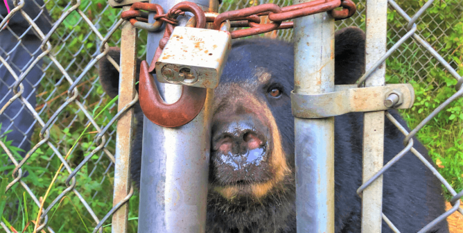 PETA's 76th Bear Rescue Is in the Books—Dolly and Fox Family Are Finally at a Real Sanctuary