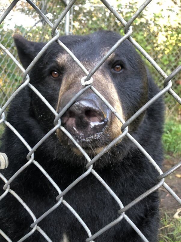 PETA Rescue Dolly the Bear Leaving Sunrise Side Roadside Zoo
