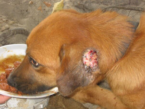 A young dog suffers from fly bites on ear