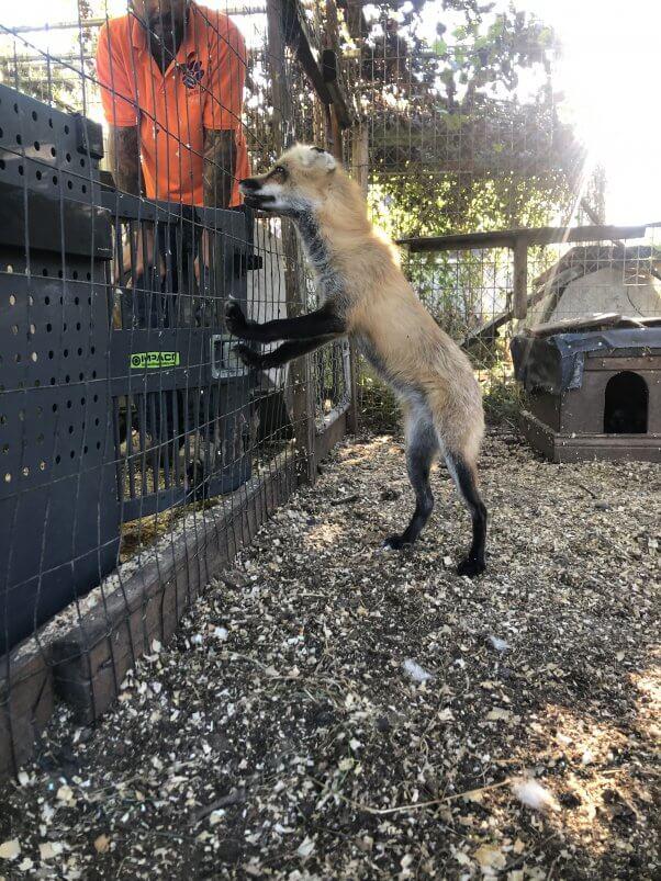 PETA rescued fox Roxy at Sunrise Side roadside zoo