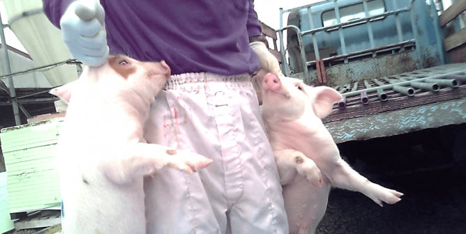 BREAKING: Pig Farm Workers Cut Off Piglets' Tails and Yank Out Their Testicles