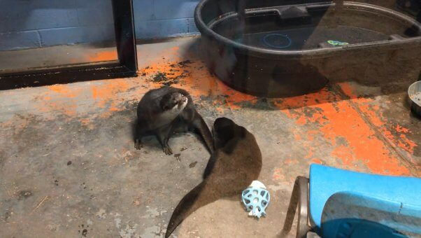 two otters at Debbie Dolittle's Petting Zoo