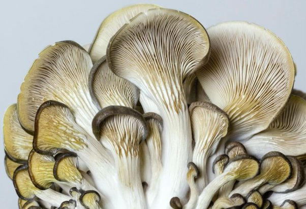 A bungle of oyster mushrooms, gills up