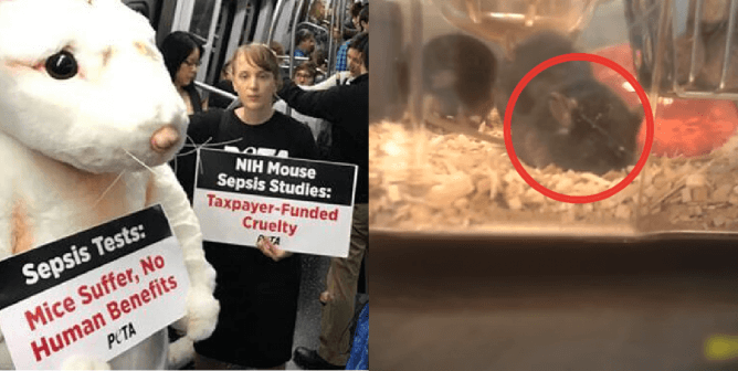 PETA Files Groundbreaking Suit Against NIH, HHS Over Sepsis Experiments on Animals