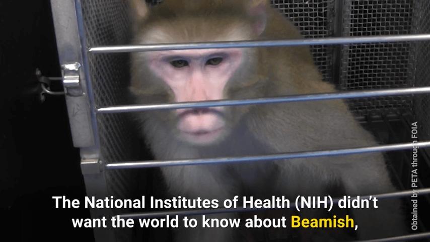 beamish nih monkey experiments