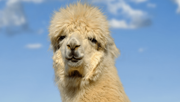 Animals Violently Shorn for Vanity—Call On American Eagle to Stop Selling Alpaca!
