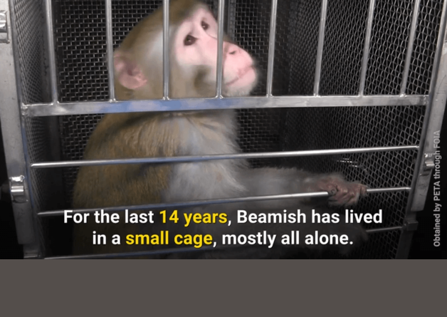 A Life of Pain and Misery: Meet Beamish, a Monkey Prisoner at NIH