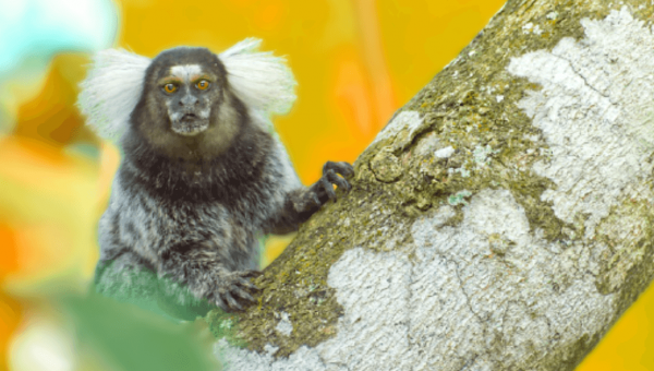 Marmosets Die, UMass Experimenter Collects $3.8 Million in Tax Money