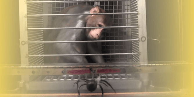 Is this the NIH Pandemic Crisis Plan? Step 1: Scare Monkeys With Spiders