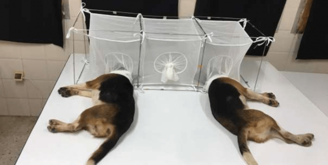 Experimenters Fed Puppies' Heads to Infected Flies, but That's Not All Fauci's NIH Funded