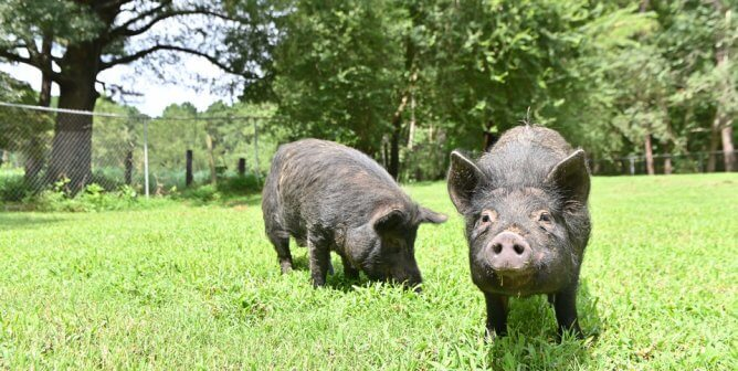 PETA's Field Team Gives Three Little Pigs and Other Animals a Fairytale Ending