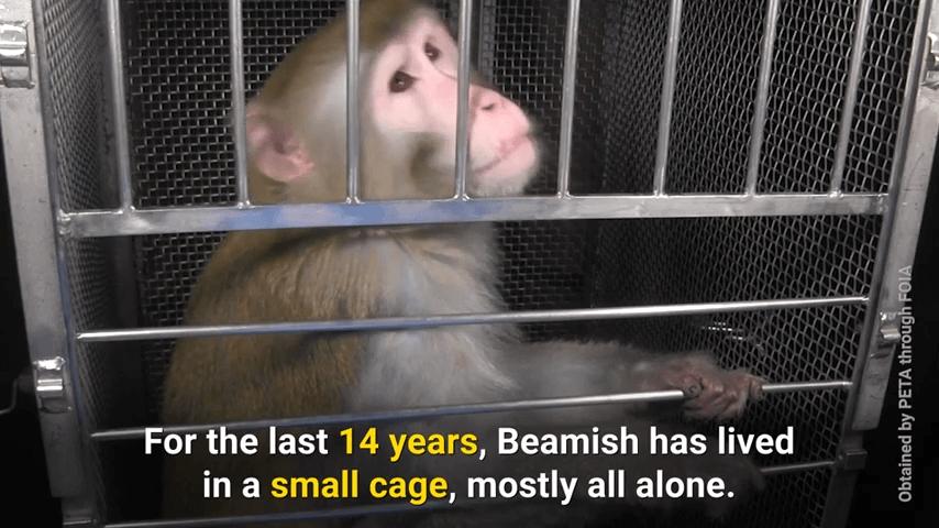 monkeys used in nih experiments