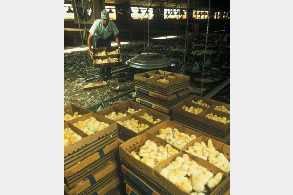 Essay on animal cruelty:chickens slaughtered?
