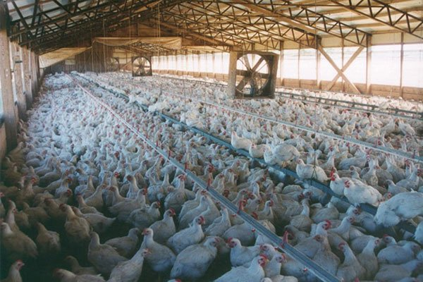 industrial livestock farms and the issue of large quantities of manure Family farm industrial operation health issues: such large amounts of manure not only cause excessive odours livestock manure has up to 30 times more.