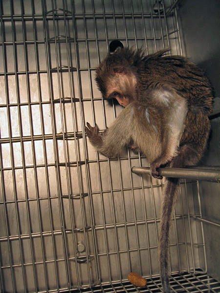 Covance: Cruelty for Hire   PETA
