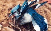 Blue Jay in Leghold Trap